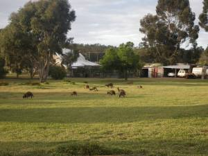 Wild roo's grazing in small hamlet of Jarrahwood, where there is a MB hut.