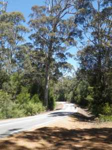 Nice roads through 'Tingle tree' forests