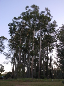 Camping under towering Karri trees in Nannup